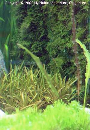 Kompozycje z mchu w akwariach w stylu japońskim