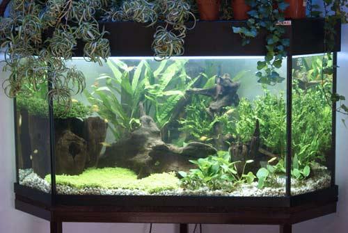 Na pokrywie akwarium (lewa górna czê¶æ zdjêcia) Zielistka Sternberga (Chlorophytum comosum - forma spiralna)...