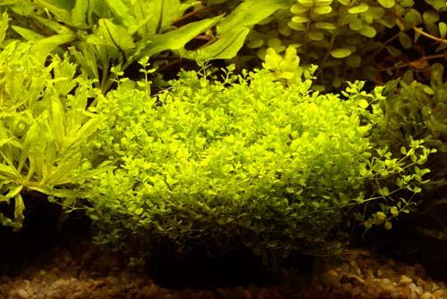 Micrantemum micranthemoides na lignicie; przydatny w ka¿dym akwarium.