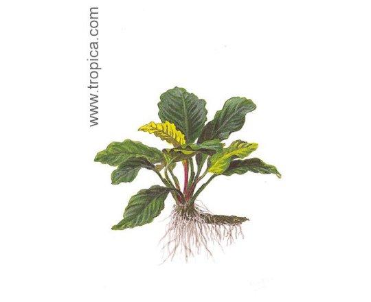 Anubias barteri ''coffeefolia''