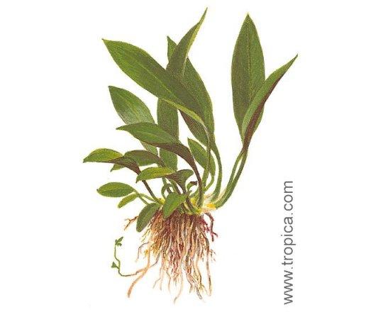 Anubias barteri var. angustifolia (Anubias wąskolistny)
