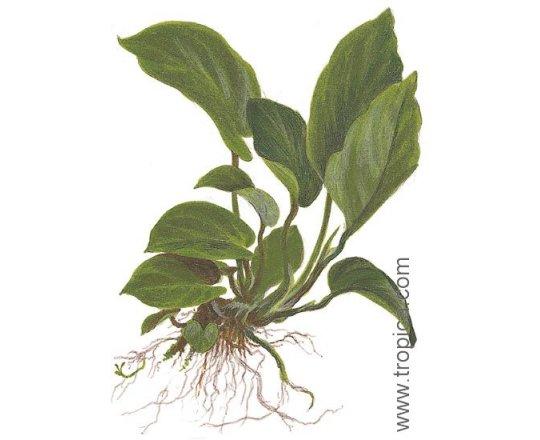 Anubias barteri var. caladiifolia (Anubias kaladiolistny)