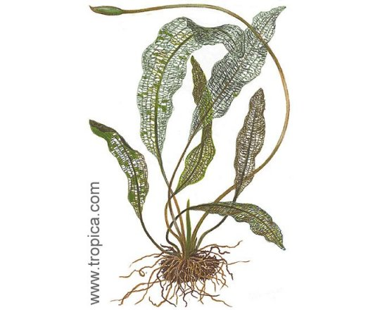 Aponogeton madagascariensis (Aponogeton madagaskarski)