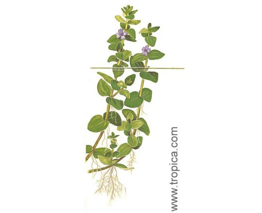 Bacopa caroliniana (Bakopa karolińska)