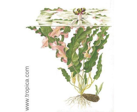 Barclaya longifolia (Barklaja długolistna)