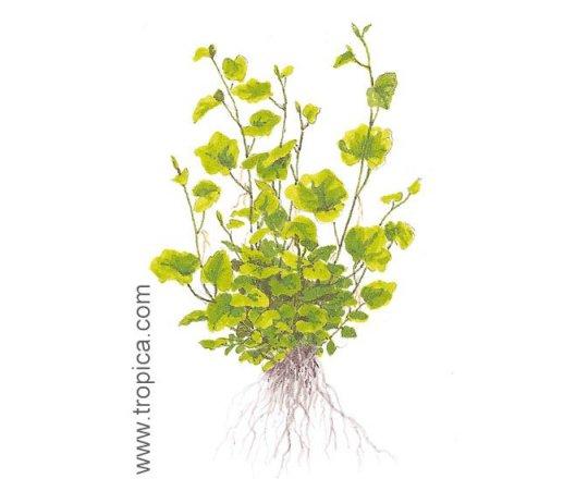 Cardamine lyrata (Rzeżucha lirowata)