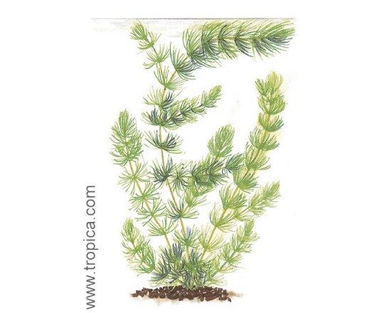 Ceratophyllum demersum (Rogatek sztywny)