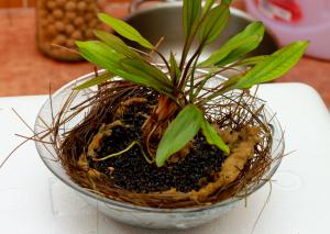 Główną roślinę (Echinodorus Jani) umieściłem na środku powstałego przekładańca