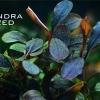 Bucephalandra - завод Борнео